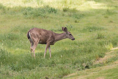 Blacktail Deer Grazing Royalty Free Stock Image