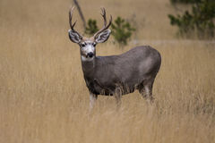 Blacktail deer Royalty Free Stock Photography