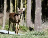 Open-Mouthed Deer. Blacktail deer stands with mouth open and ears perked Royalty Free Stock Photography