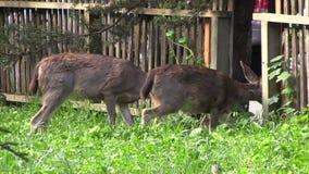Blacktail Deer in Urban Area stock video footage