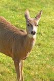 Blacktail Deer Royalty Free Stock Images
