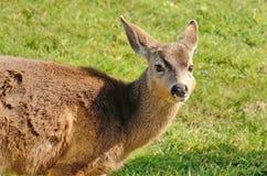 Blacktail Deer Royalty Free Stock Photos
