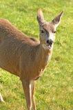 Blacktail Deer Stock Image