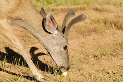 Blacktail eating an apple Stock Image