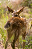 Blacktail Fawn Deer Royalty Free Stock Images
