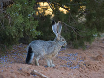 Blacktail Jackrabbit Stock Images