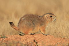 Blacktail Prairie Dog. In Devils Tower National Monument royalty free stock images