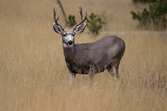 Blacktail rogacz Fotografia Royalty Free