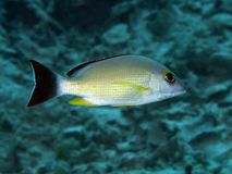 Blacktail snapper Royalty Free Stock Images