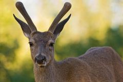 Blacktail Stag Royalty Free Stock Photo