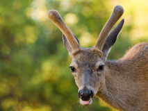 Blacktail Stag Sticking out Its Tongue Royalty Free Stock Images