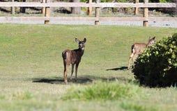 Blacktailed Deer Looking Back. Blacktailed deer looks back over its shoulder, alert, as it watches and listens for danger stock image