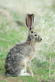Blacktailed Jack Rabbit. A wild blacktailed jack rabbits sits quietly in the grass Royalty Free Stock Images