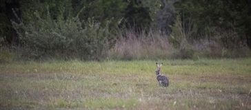 A blacktailed jackrabbit stock photography