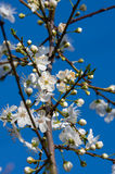 Blackthorn άνθος spinosa Prunus την άνοιξη στοκ εικόνες με δικαίωμα ελεύθερης χρήσης