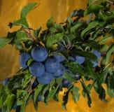 Blackthorn - κλάδος με τα fruites Στοκ φωτογραφίες με δικαίωμα ελεύθερης χρήσης