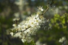 blackthorn λουλούδι Στοκ εικόνες με δικαίωμα ελεύθερης χρήσης