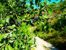 Blackthorn υπόβαθρο Στοκ φωτογραφία με δικαίωμα ελεύθερης χρήσης