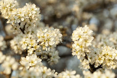 Blackthorn Stock Image
