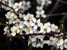 Blackthorn royalty free stock photo