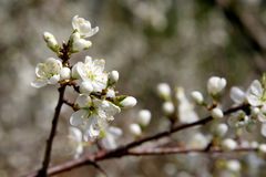 Blackthorn Royalty Free Stock Images