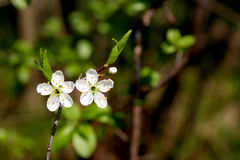 Blackthorn Stock Images