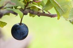 Blackthorn bears fruit in autumn. Sloe berry grows slow on blackthorn bush stock images