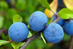 Blackthorn, Berry, Blue, Vitamins Stock Images