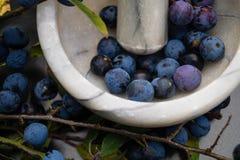 The blackthorn berry prunus spinosa stock photo