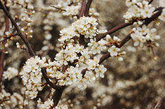 Blackthorn blossom. At the beginning of spring Stock Photo