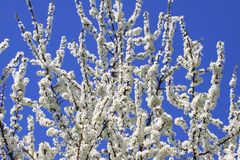 Blackthorn blossom against a blue sky Stock Photography