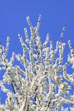 Blackthorn blossom against a blue sky Stock Image