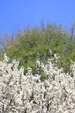 Blackthorn blossom against a blue sky Royalty Free Stock Photography