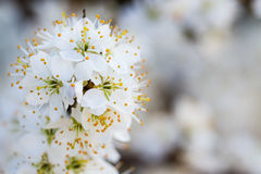 Blackthorn Blossom Royalty Free Stock Photos