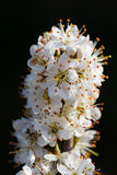Blackthorn Blossom Stock Images