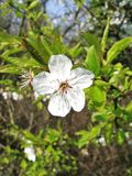 Cherry Plum Blossom. A close-up of a cherry plum blossom (also known as myrobalan plum) The blossom is white and has a red/pink colored center. It is surrounded Stock Photos