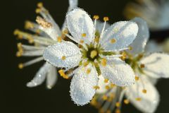 Blackthorn blossom Royalty Free Stock Images