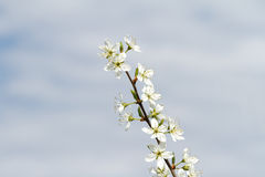 Blackthorn Blossom Prunus spinosa. Branch of the blackthorn with opened blossoms on heaven background stock image