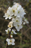 Blackthorn blossom Stock Photography