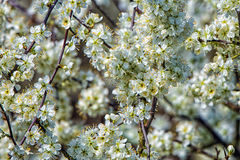 Blackthorn Blossom - Prunus spinosa. Blackthorn or `Sloe` blossom in early spring, England Stock Image