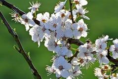 Blackthorn blossom, Prunus spinosus Stock Image