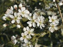 Blackthorn blossom Stock Image