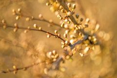 Blackthorn blossom in spring, closed blossom buds. Blackthorn blossom in spring in Germany, closed blossom buds Royalty Free Stock Photo