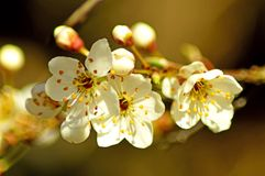 Blackthorn blossom in spring Royalty Free Stock Photos