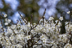 Blackthorn blossom Stock Image