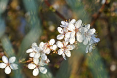 Blackthorn blossom in spring Stock Image