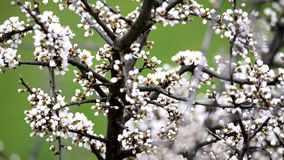 Blackthorn blossom in spring stock video footage