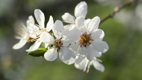 Blackthorn blossom in spring Royalty Free Stock Image