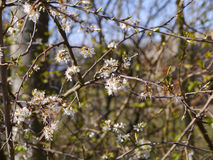 Blackthorn blossoms are the harbingers of Spring in a Lancashire woodland Royalty Free Stock Image