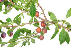 Blackthorn branch with fruits and leaves Royalty Free Stock Images